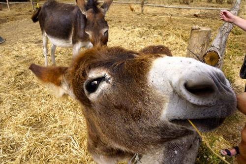Cute gray donkey during a guided excursion to Alghero