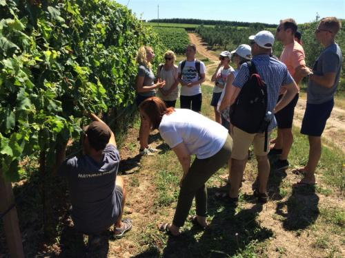 Guide explains to hikers the grape harvest for wine