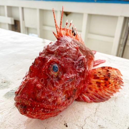 Pesce appena pescato nel Golfo dell'Asinara