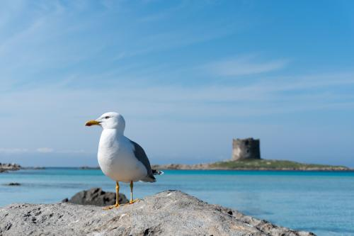 Seagull and La Pelosa tower in the background