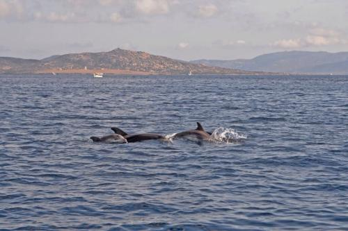 Dolphins in the Gulf of Asinara