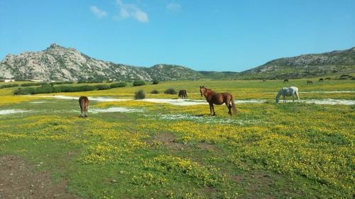 Free horses on Asinara island