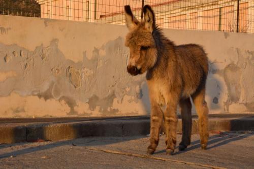 Baby donkey typical of Asinara