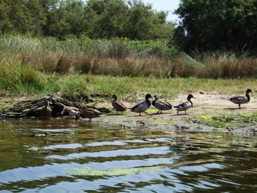 Enten in der Nähe des Flusses Coghinas