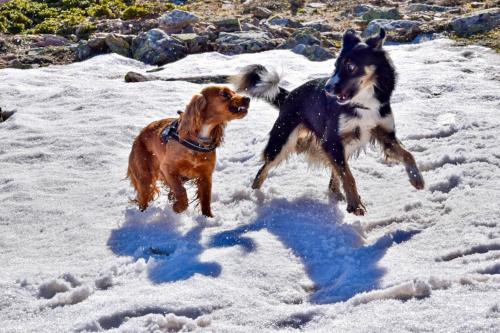 Dogs play