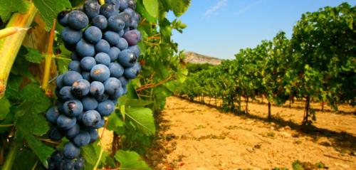 Uvas para vendimia en viñedo