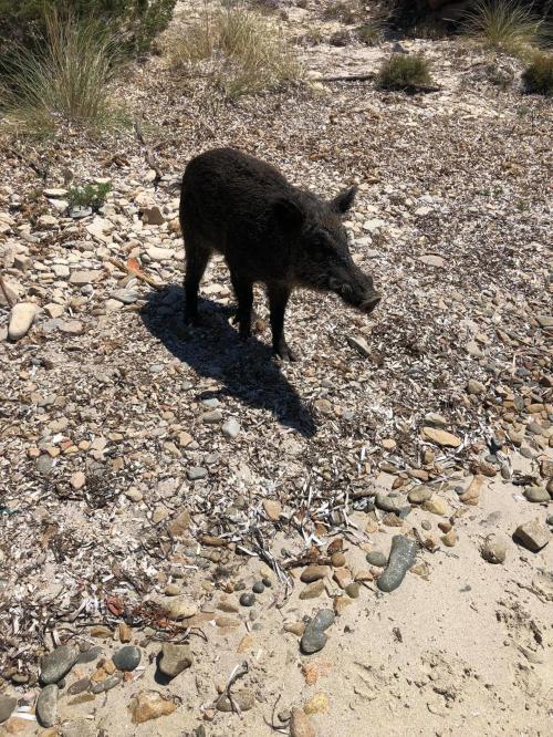 Wildschwein auf der Insel Spargi