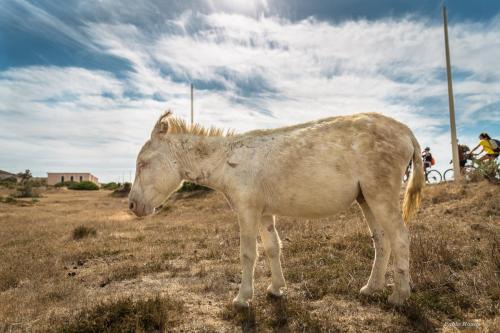 Typischer weißer Esel der Insel Asinara