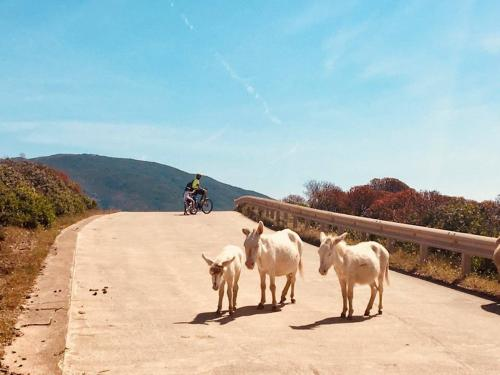 Weiße Esel aus Asinara