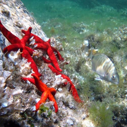 Seesterne im Asinara-Meeresboden