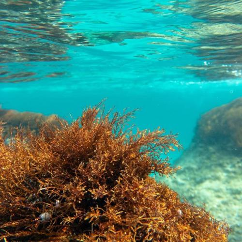 Coral típico de la costa de Alghero