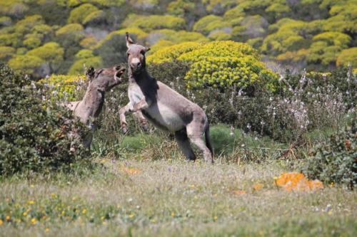Esel in Asinara