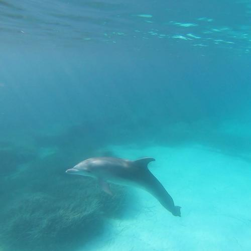 Dolphin in the waters of Asinara
