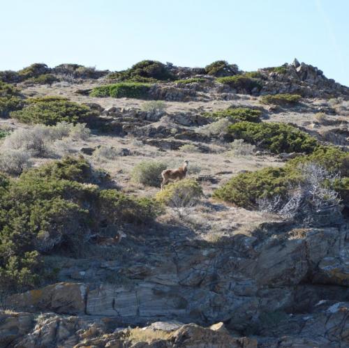 Mufflon in Asinara