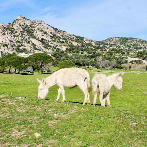 Weiße Esel auf der Insel Asinara