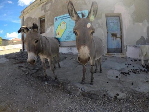 Typische Esel von Asinara