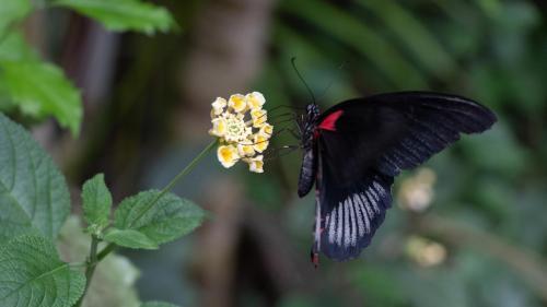 Mariposa roja y negra
