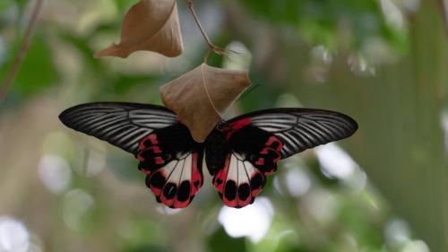 Mariposa a lunares