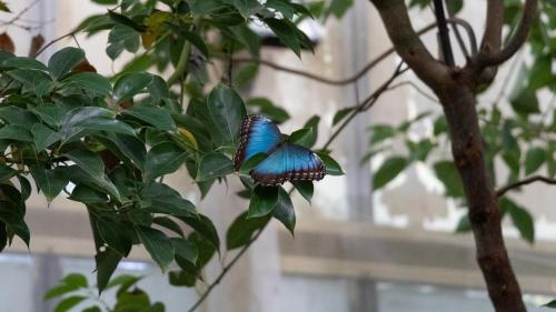 Mariposa azul sobre una rama