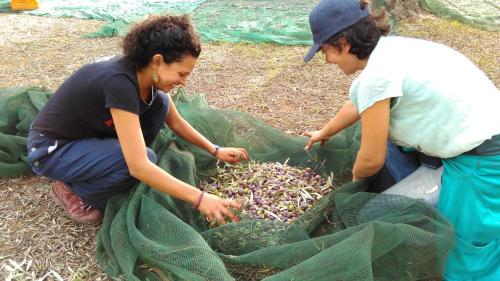 Guided excursion for the olive harvest