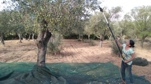 Harvesting olives from the tree
