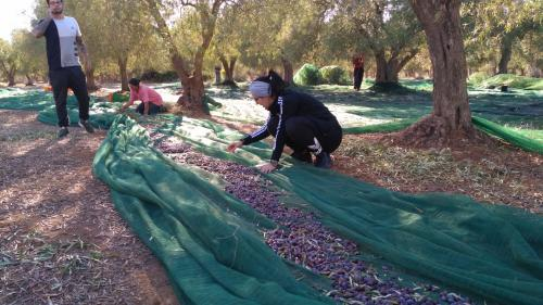 Preparation of nets for the olive harvest