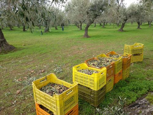 Crates of freshly picked olives