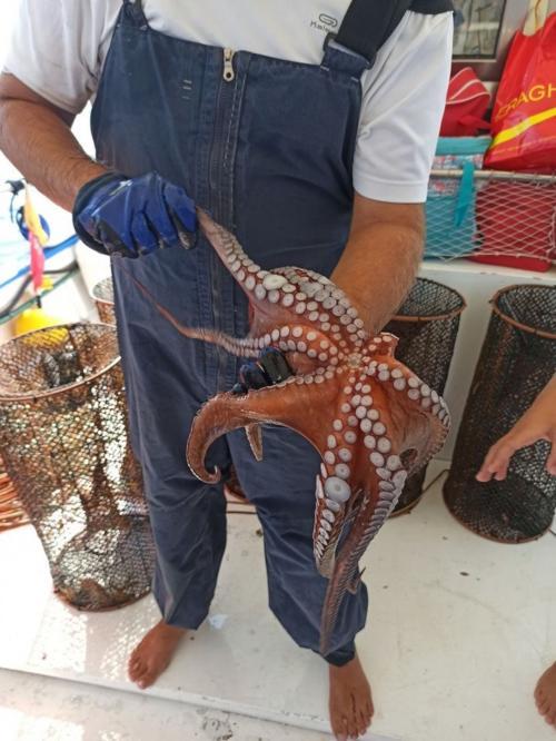 Frisch gefangener Tintenfisch