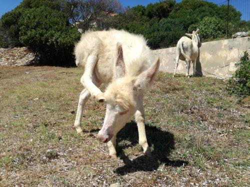 Weißer Esel typisch für Asinara