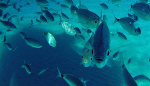 Fish in the Asinara sea