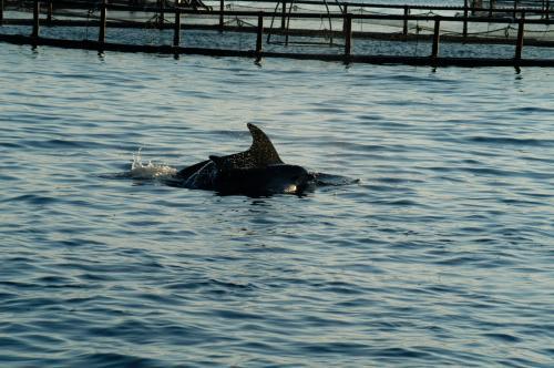Delfine im Golfo Aranci