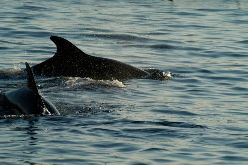 Delfinbeobachtung im Golfo Aranci