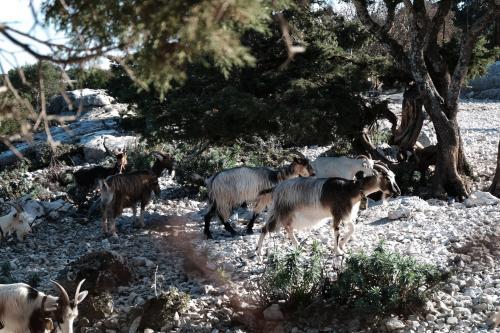 Goats grazing near the sheepfold