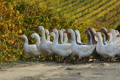 Ducks in the vineyard