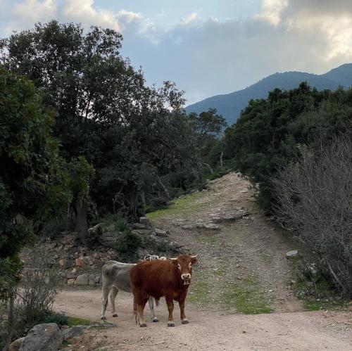 Mucche nella natura del Monte Ferru