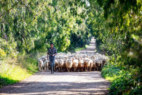 Shepherd with sheep and dog