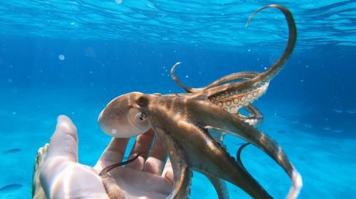 Polpo nelle acque dell'Arcipelago di La Maddalena