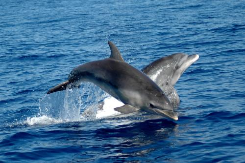 Dolphins play in the sea of Alghero