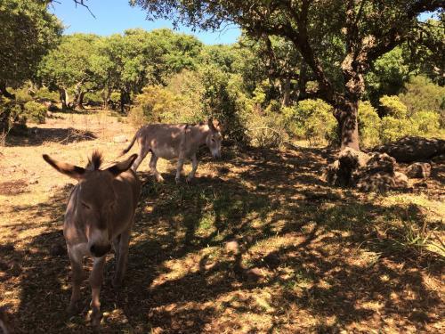 Esel im Gebiet von Alghero