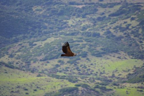 Griffon im Flug im Gebiet zwischen Alghero und Bosa
