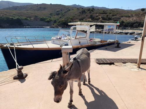 Typischer Esel auf der Insel Asinara